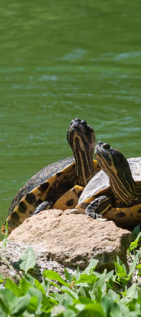 La tortue sort sa tête